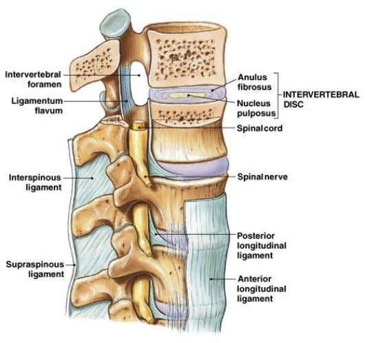 Intervertebral Articulations • C to L spinal vertebrae articulate: – at inferior and superior articular processes