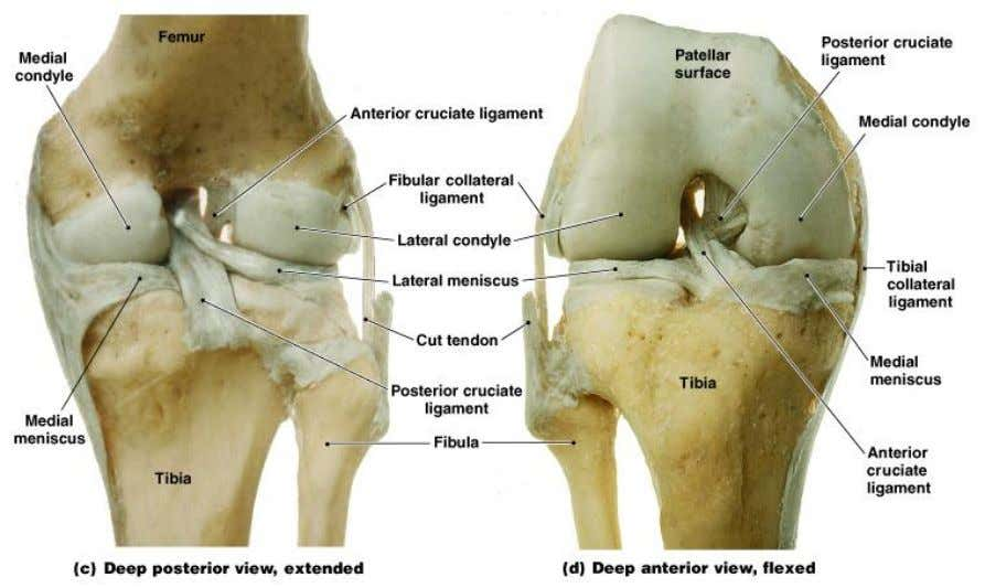 The Knee Joint • 2 femur – tibia articulations: – 1 at medial and lateral condyles