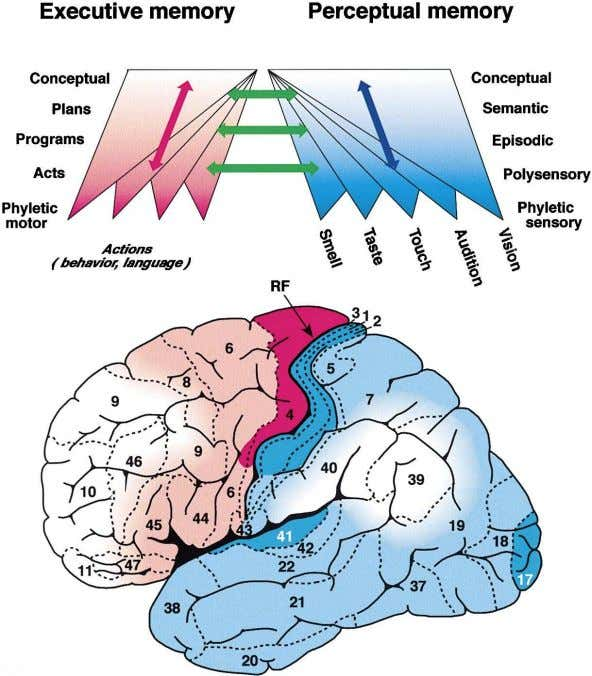 Neuron 322 Figure 3. General Organization of Cognitive Representations in the Human Lateral Cortex (Top) Schema
