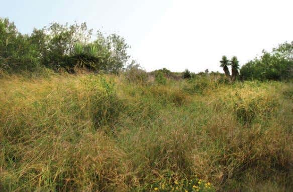 from grasslands adjacent to thick cover are an important Grassland between two areas of thornscrub on