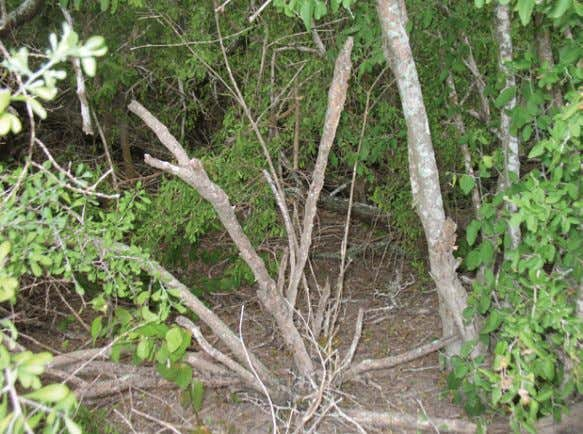 between two areas of thornscrub on the Annova site. Typical thornscrub on the Annova site, photographed