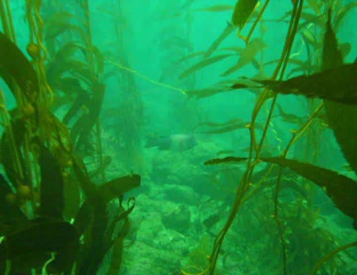 barren have since been restored to productive kelp forests. Photo 6. Restored kelp forest at Long