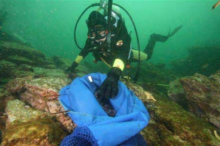 Photo 1. Volunteer diver Hanae Spathias remove s purple urchins from a restoration site at