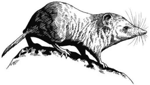 5 The diagram shows a shrew, a small mammal. Source: http://museum2.utep.edu/archive/mammals/DDshrew.htm Different