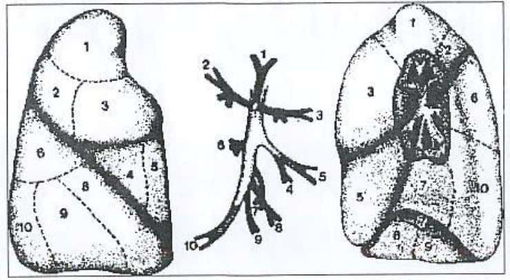DE LOS PULMONES Pulmón y bronquio derecho. Fig. 7 - 19 - Created with novaPDF Printer