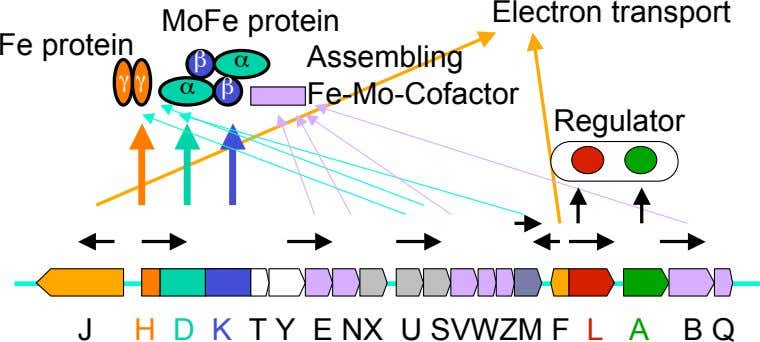 Electron transport Fe protein MoFe protein Assembling β α γ γ α β Fe-Mo-Cofactor Regulator J