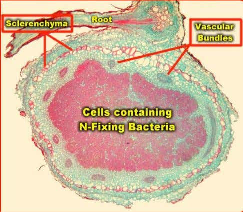 Legume & N-fixing bacteria • Rhizobia engulfed into nodule cells • Differentiate into bacteroids © Simms
