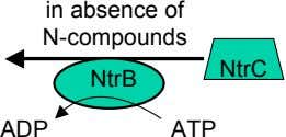 in absence of N-compounds NtrC NtrB ADP ATP