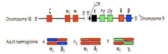 developmental stages, for example the globin genes Different members of the globin gene family are transcribed