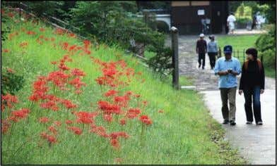 an hour to walk through the area, depending on the route. Red spider lilies can be
