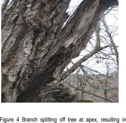 Figure 4 Branch splitting off tree at apex, resulting in