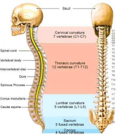 Figure 1.1 Vertebral column (Source: http://www.spine1.com/ ) 1.3 Lumbar spine Lumbar spine consists of 5