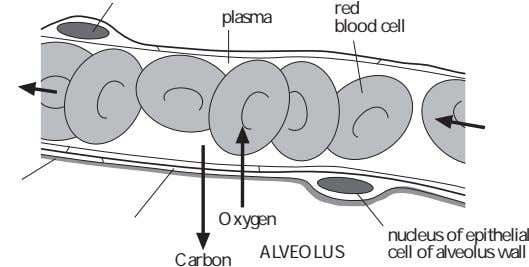 red plasma blood cell Oxygen ALVEOLUS nucleus of epithelial cell of alveolus wall Carbon