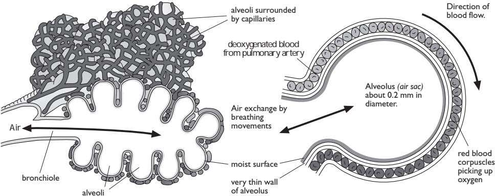 Direction of alveoli surrounded blood flow. by capillaries deoxygenated blood from pulmonary artery Alveolus (air
