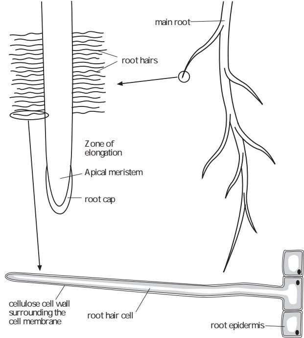main root root hairs Zone of elongation Apical meristem root cap cellulose cell wall surrounding