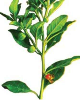 (Tinospora cordifolia) Guduchi is widely acclaimed in Simple remedy for enhancing immunity in children is as