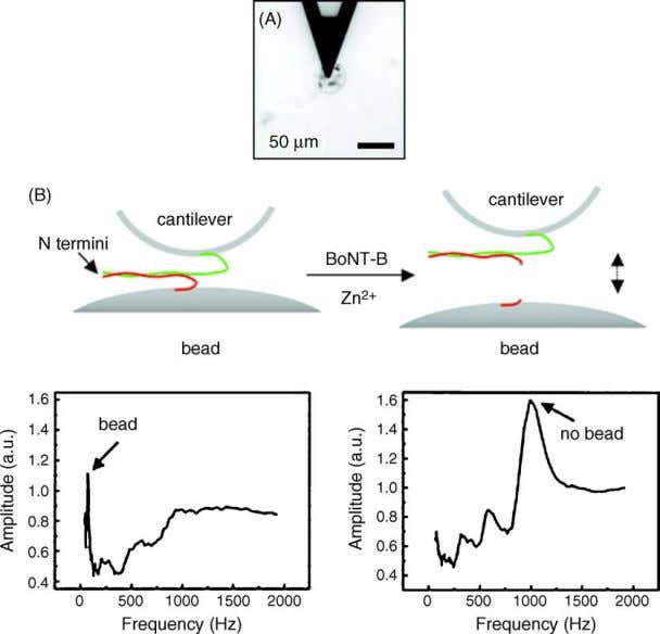 J.J. Gooding / Analytica Chimica Acta 559 (2006) 137–151 Fig. 4. A microcantilever based biosensor developed