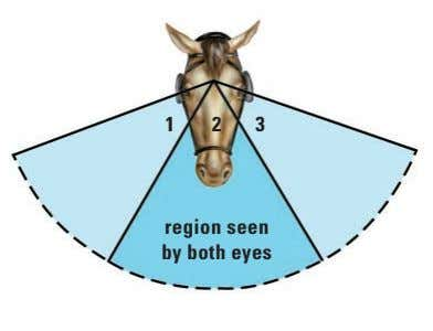 1 23 region seen by both eyes