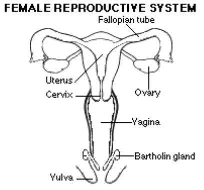 sperm cannot meet. See also ECTOPIC PREGNANCY; OVARY; UTERUS FOETAL POSITION During labour, the position of