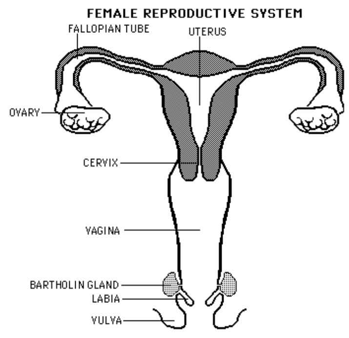tube, the other end of which connects with the uterus. The ovaries also produce the hormones