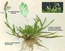 17. Canary grass: Phalaris minor Retz. Poaceae A tufted annual bunchgrass, up to 1.8 meters