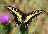 wings with three white distal spots. Life cycle: 4. Adult Citrus butterfly ( Papilio demoleus) 3.