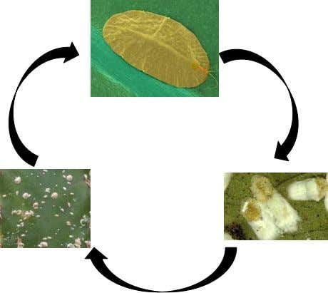 flat bumps on the surface of a leaf. Life cycle: Adult Crawler Eggs Nature and symptoms