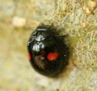 5. Damsel bug 2. Galendromus occidentalis 6. Lacewing 3. minute pirate bug 4. Black lady beetle