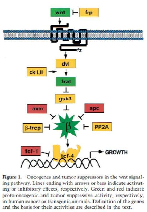 APC and FAP • Intracellular protein – – • Truncations in APC Aberrant activation of Wnt