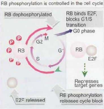 Retinoblastoma arises when both copies of the RB gene are inactivated . In the inherited form