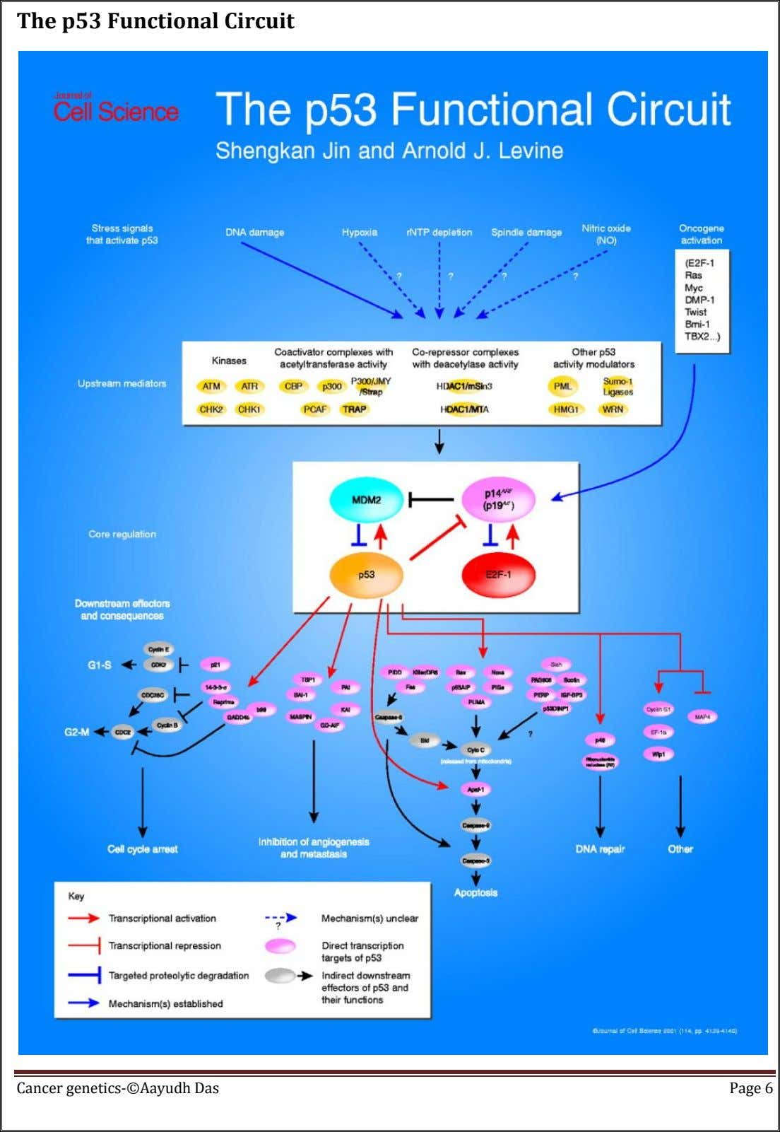 The p53 Functional Circuit Cancer genetics-©Aayudh Das Page 6