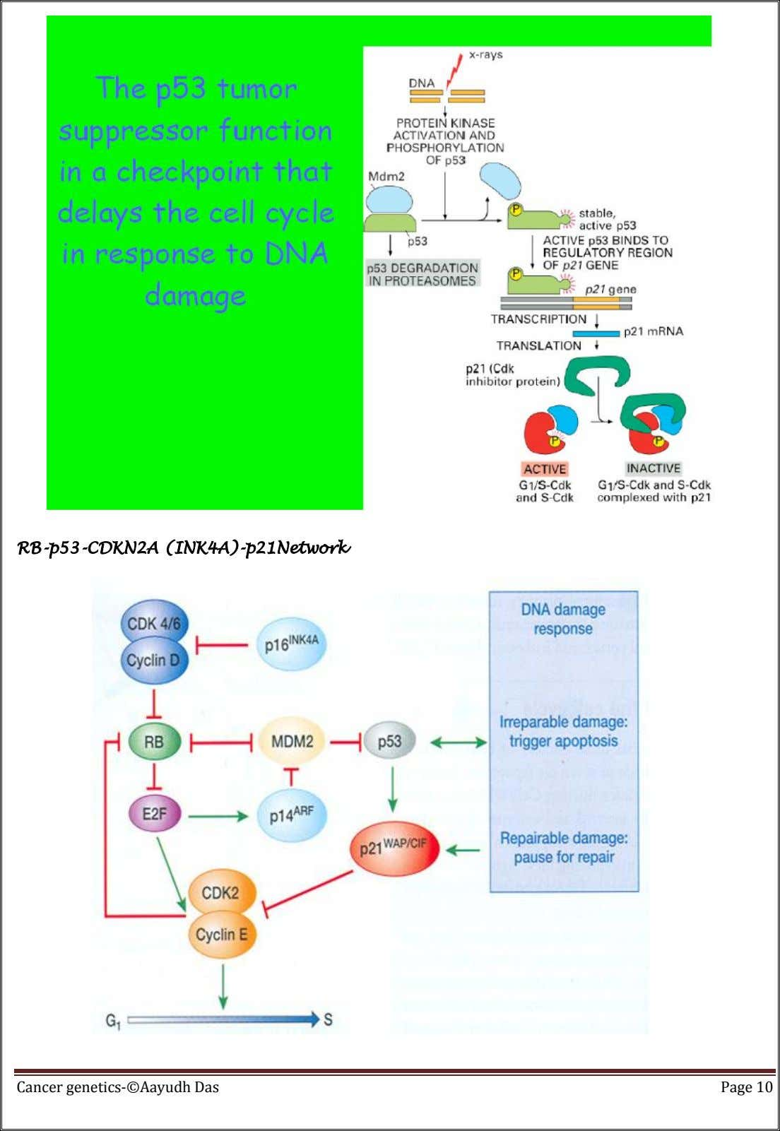 RB-p53-CDKN2A (INK4A)-p21Network Cancer genetics-©Aayudh Das Page 10
