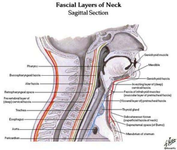 102.The following muscles are innervated by the ansa cervicalis a. sternohyoid b. geniohyoid c. thyrohyoid d.