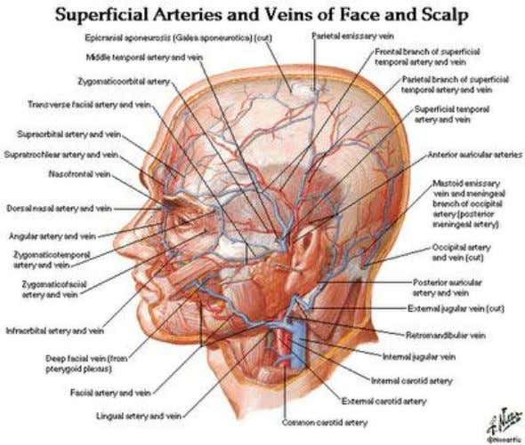 26. Which statement is incorrect ? a. two cranial nerves (VII and VIII) leave the posterior