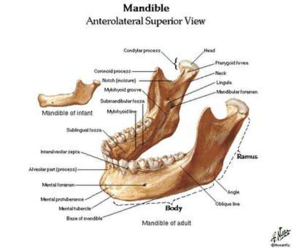 32. Choose the best response a. the pterygoid processes of the sphenoid bone are located anterior