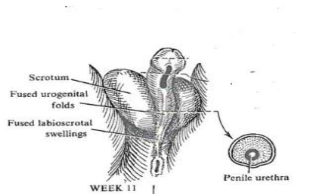 along the caudal region of the phallus and closes over by the 4 t h month