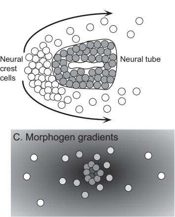 B. Directed migration Neural Neural tube crest cells C. Morphogen gradients