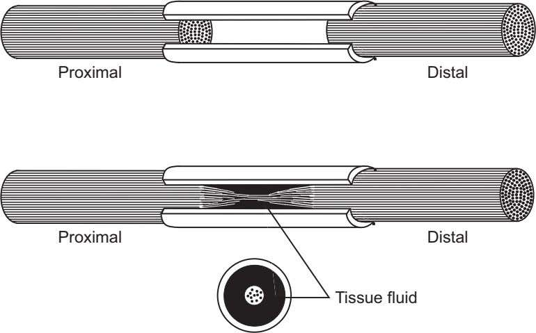 Proximal Distal Proximal Distal Tissue fluid