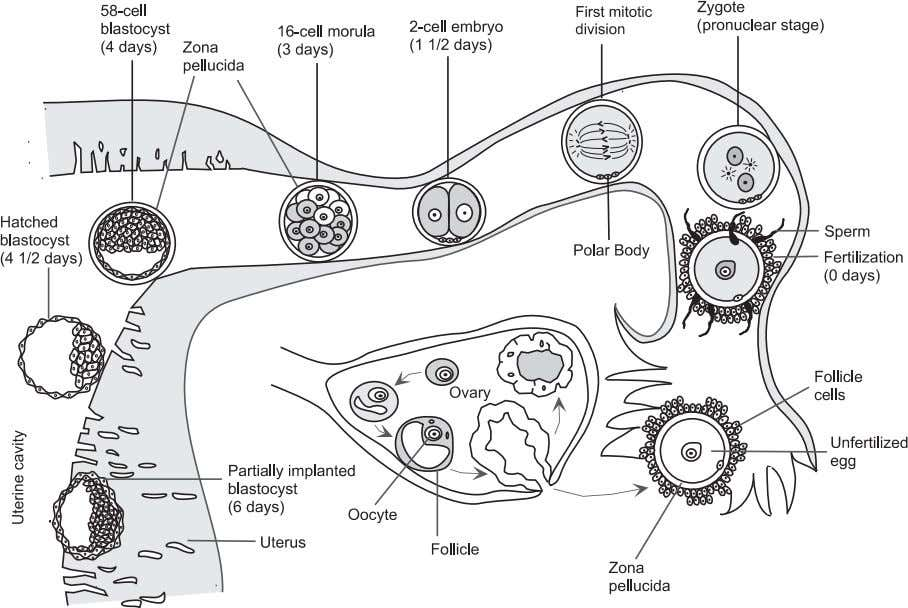 Elements of Tissue Development 35 Figure 3.2. Changes that occur during the cleavage divisions of a