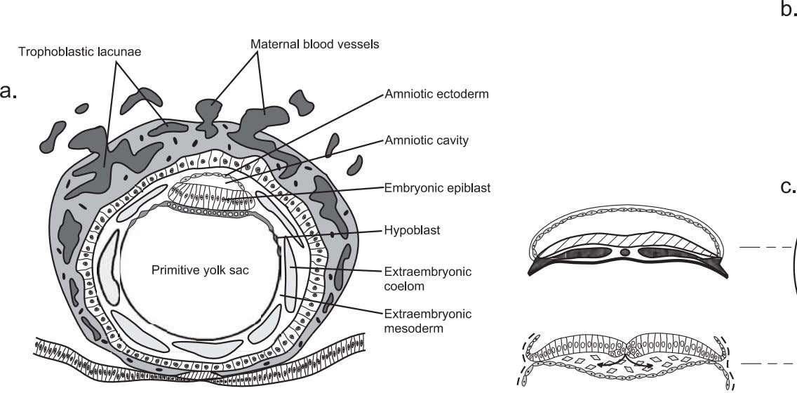 Figure 3.3. Schematic diagram of changes that occur during gastrulation in the human embryo. Dramatic