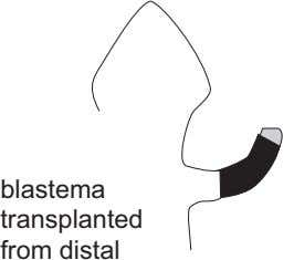 blastema transplanted from distal