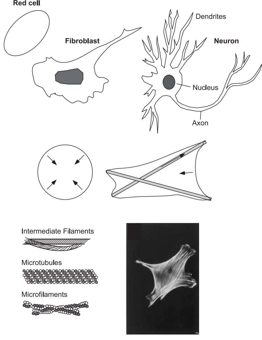 Elements of Tissue Development 51 Figure 3.12. Differentiated cells have vastly different shapes in the adult.