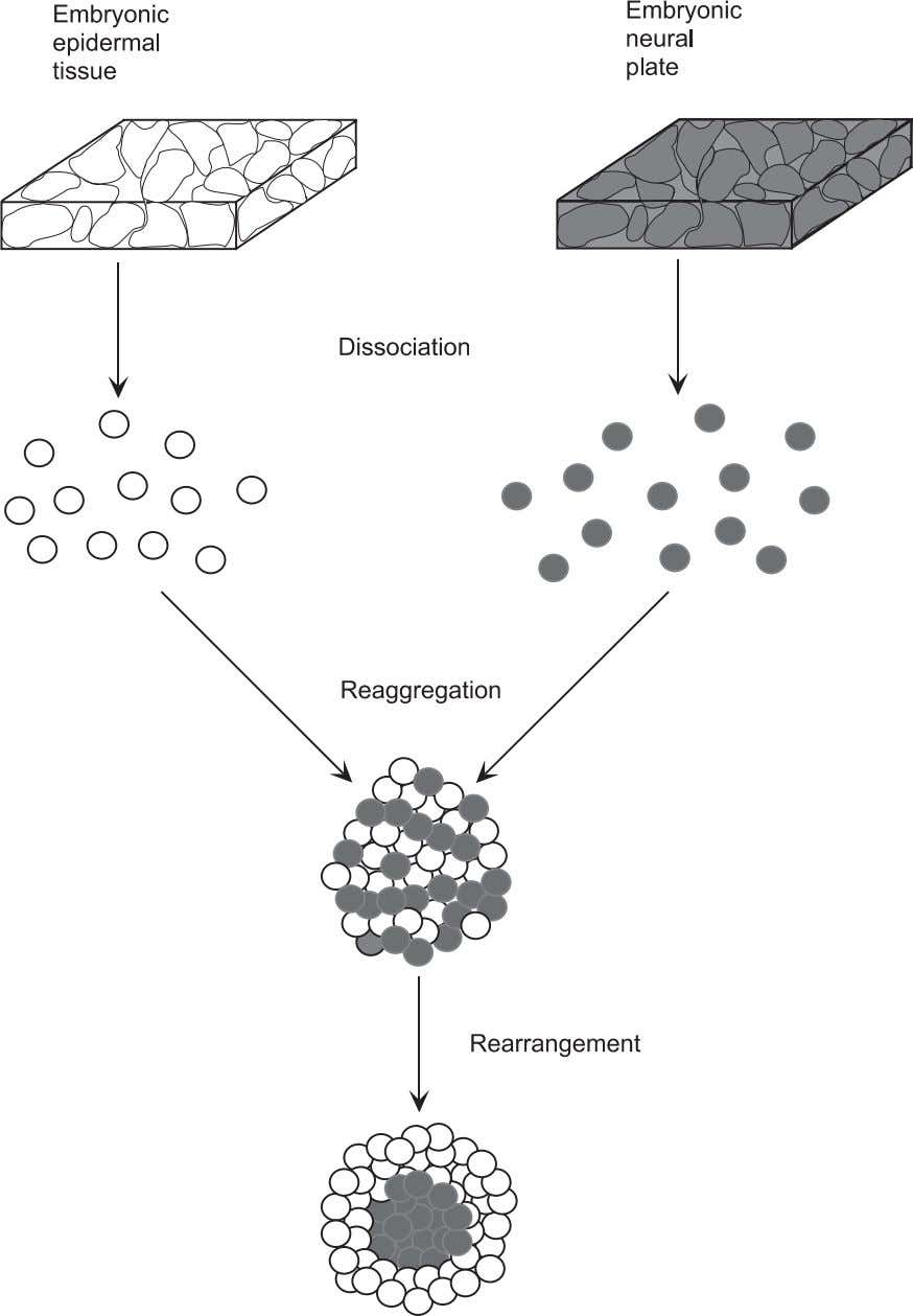 Elements of Tissue Development 53 Figure 3.13. Spontaneous rearrangement of reaggregated embryonic cells. Cells that