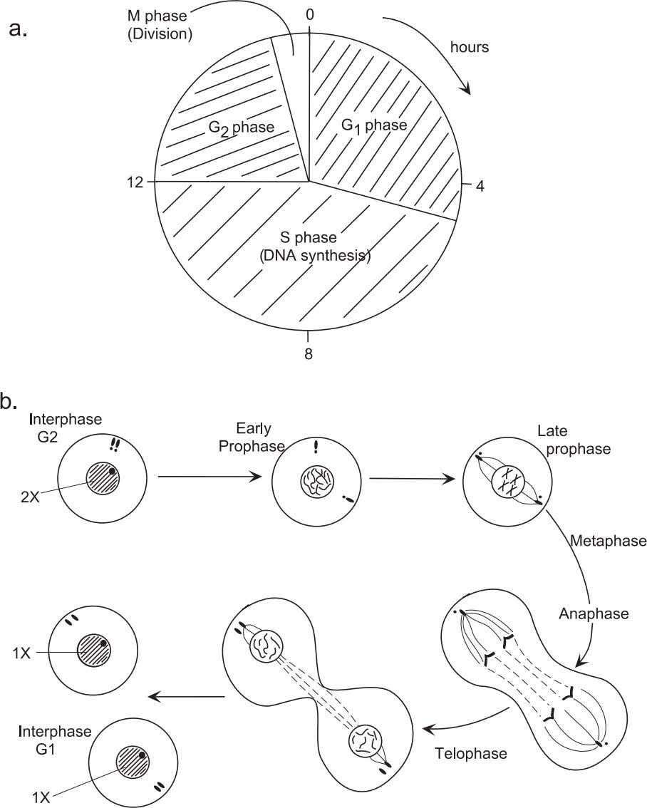Cell Growth and Differentiation 71 Figure 4.2. Phases of cell division and physical transformations in eukaryotic