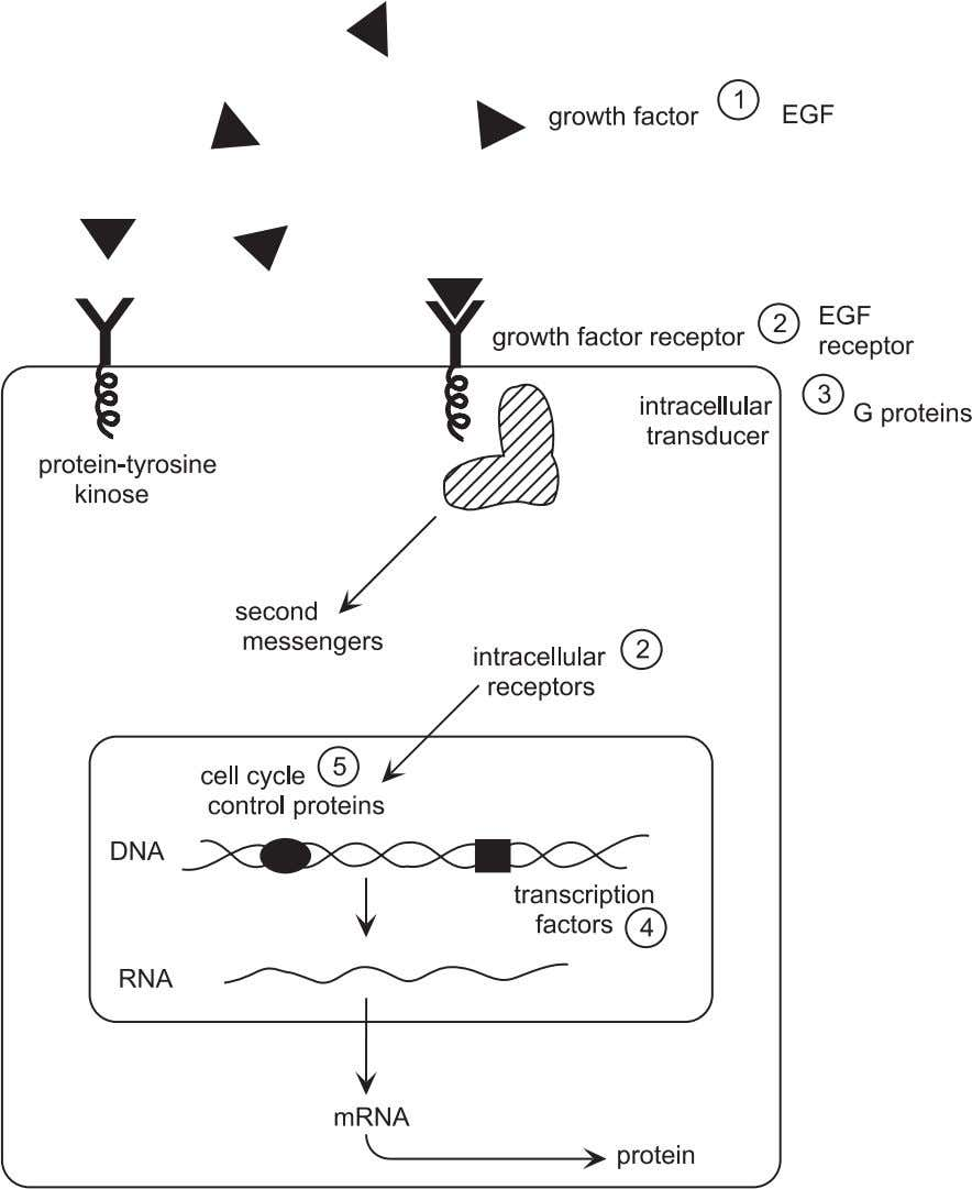 82 Tissue Engineering Fundamentals Figure 4.10. Schematic diagram showing the influence of growth factors on cell
