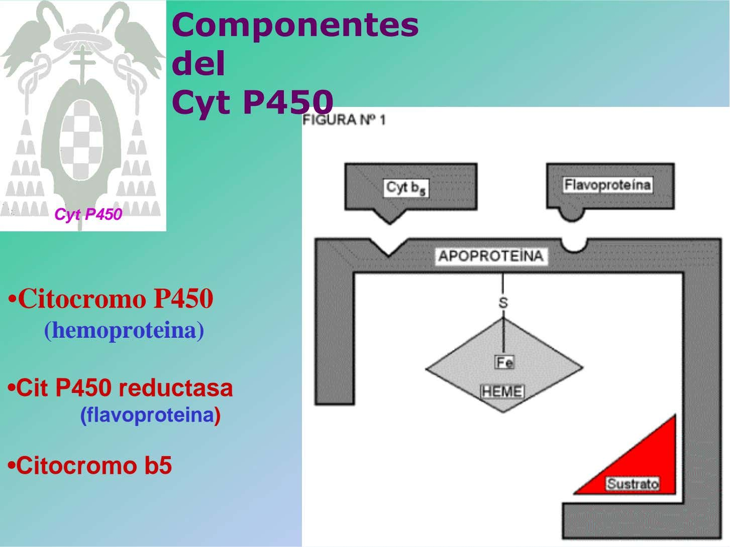 Componentes del Cyt P450 Cyt P450 •Citocromo P450 (hemoproteina) •Cit P450 reductasa (flavoproteina)