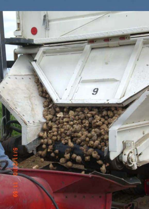 Truck to Planter : Jerusalem Artichoke tubers ready to be planted