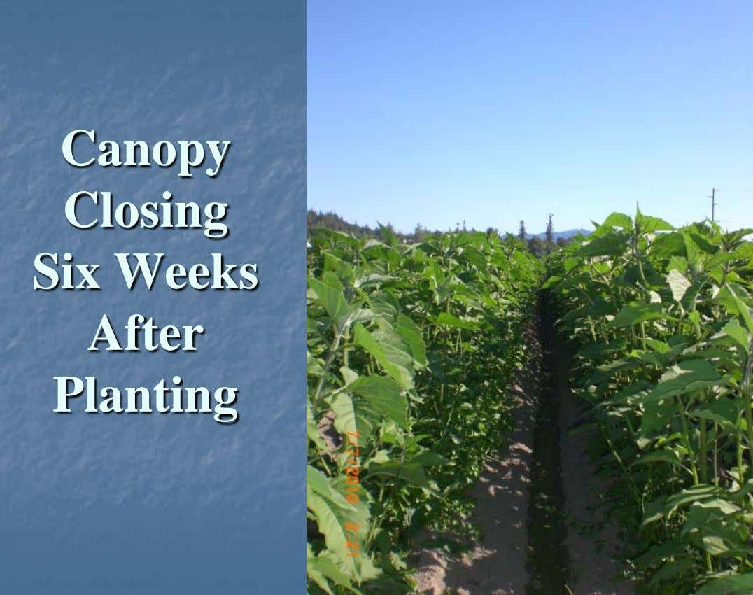 Canopy Closing Six Weeks After Planting