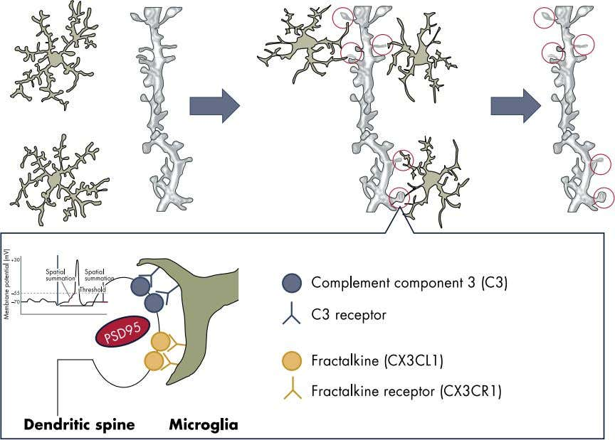 Endocrine Reviews, August 2016, 37(4):372– 402 Figure 1. Microglia are a dynamic mediator of synaptic