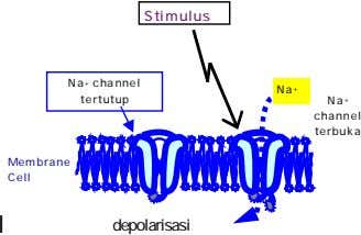 Stimulus Na + channel tertutup Na + Na + channel terbuka Membrane Cell l depolarisasi